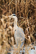 Full frame portrait of a grey heron on the ice of Noah's Lake at Shapwick Heath Nature Reserve.
