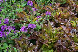 Lettuce 'Cocarde' with Verbena 'Aztec Violet'