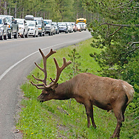 A Bull Elk (Cervus canadensis) stops traffic on a road in Yellowstone National Park.