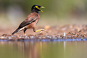 Common myna (Acridotheres tristis) on a very hot day in Zimanga, South Africa.