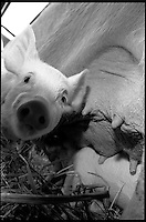 Piglet and mama pig at the Marquette County Fair, Sands Township, 1991