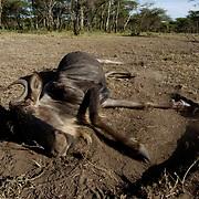 Wildebeest (Connochaetes taurinus) Dead adult wildebeest. Serengeti National Park. Tanzania. Africa. February.