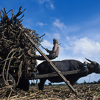 Philippines, Negros Island, Sugar cane cutter collects cut cane for water buffalo-drawn cart near town of Sillay