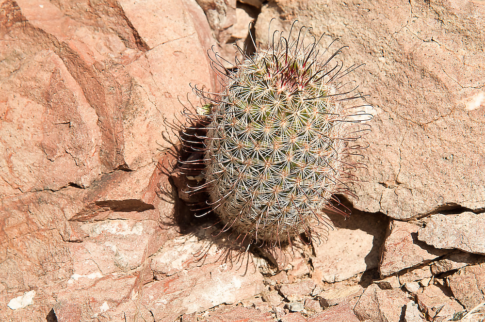 "The Arizona fishhook cactus (also known as Graham's nipple cactus) is not only limited to Arizona, but is  also found in California, New Mexico and Texas, as well as much of Northern Mexico. One of the most interesting things about this particular native species of the Sonoran and Chihuahuan Deserts are the recurved ""fishhook"" spines. This one was found in Southern Arizona's Diablo Mountains near the Mexican border."