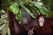 A mother orangutan with her young ( Pongo pygmaeus ) makes an umbrella with leaves for protection from the rain, close-up, Borneo, Indonesia