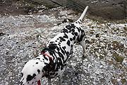 A pet Dalmatian dog stands near stony ground near Morte Point on the north Devon coast.