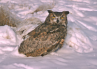 Great Horned Owl (Bubo virginianus) after a winter snow storm.