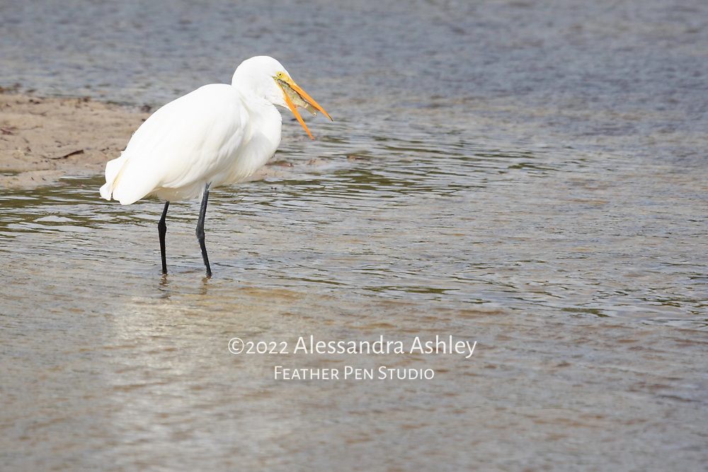 Great egret with large fish positioned inside its bill after a successful catch.
