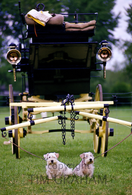 West Highland Terriers tied to an old fashioned carriage, Windsor, England, United Kingdom