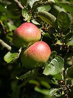 SAINT OMER (France) - Appels op de baan. AA Saint-Omer Golf Club. Copyright Koen Suyk
