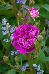 Rosa 'Wiliam Lobb' with Nepeta 'Six Hill's Giant' at Glebe Cottage. Catmint