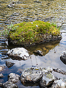 Moss and asters, Lake O'Hara, Yoho National Park, near Field, British Columbia, Canada