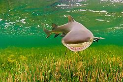 lemon shark, Negaprion brevirostris, Little Card Sound, Biscayne Bay, Key Largo, Florida Keys National Marine Sanctuary, Florida, USA, Caribbean Sea, Atlantic Ocean