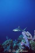 Caribbean reef shark, Carcharhinus perezi, and purple tube sponges, New Providence, Tongue of the Ocean, near Nassau, Bahamas ( Western Atlantic Ocean )