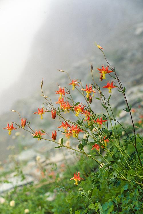 Sitka columbine and fog, summer, near No Name Lake, Alpine Lakes Wilderness, Cascade Mountains, Washington, USA