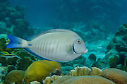 Ocean Surgeonfish (Acanthurus bahianus)<br /> BONAIRE, Netherlands Antilles, Caribbean<br /> HABITAT & DISTRIBUTION: Reefs. <br /> Florida, Bahamas, Caribbean, Gulf of Mexico, Burmuda south to Brazil.