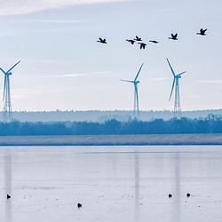 """Ganso-bravo (Anser anser) fotografado na Alemanha, na Unição Européia - Europa. Registro feito em 2016.<br /> ⠀<br /> <br /> ENGLISH: Greylag Goose photographed in Germany, in European Union - Europe. Picture made in 2016."""
