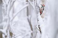 White-backed woodpecker male, Dendrocopos leucotos, Stora Tuvan nature reserve, Umea, Vasterbotten, Sweden