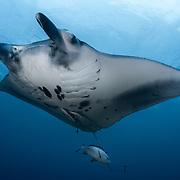 This is a reef manta ray (Mobula alfredi), photographed at Kumejima island in Okinawa, Japan. Beneath the manta is a twinspot snapper (Lutjanus bohar).