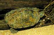 Map Turtle<br /> <br /> ENGBRETSON UNDERWATER PHOTO