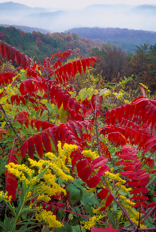 Goldenrod and sumac, Blue Ridge Parkway, Great Smoky Mountains National Park, Tennessee, USA