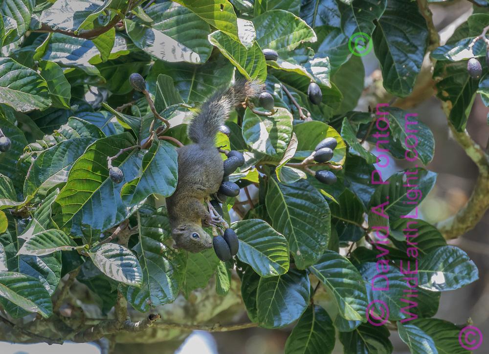 Variegated squirrel harvesting wild avocados in aguacatillo tree, Curi-cancha wildlife reserve, Costa Rica, © David A. Ponton