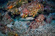 Forkbeard-Mostelle (Phycis phycis) of Mediterranean sea.
