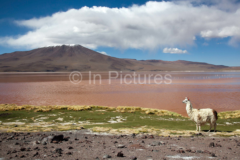 Llama next to the laguna roja red lagoon with a snow capped volcano in the background. Salar Uyuni salt flats and Eduardo Avaroa national park, south western Bolivia