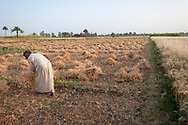 Luxor, Egypt - April 10, 2010: Yusuf harvests wheat in a field near his home on the West Bank of Luxor.