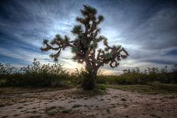 Joshua tree in the Arizona desert along route 93.