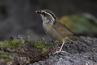 Rusty-capped Fulvetta, Alcippe dubia, feeding on an insect while sitting on the ground in  Baihualing, Gaoligongshan, Yunnan, China
