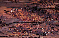 16.03.2016 Puszcza Bialowieska woj podlaskie Gradacja kornika drukarza ( Ips typographus ) - groznego szkodnika drzewostanow , glownie swierkowych , osiagnela w Puszczy Bialowieskiej niespotykane rozmiary . Zdaniem lesnikow jedyna metoda jest wycinka i wywoz zarazonych drzew z lasu . Przeciwnego zdania sa organizacje ekologiczne i spoleczne . Decyzja ministra srodowiska w tej sprawie spodziewana jest w najblizszym czasie n/z larwy i zerowiska kornika drukarza pod kora swierku fot Michal Kosc / AGENCJA WSCHOD