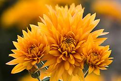 Chrysanthemum 'Orange Shoesmith'