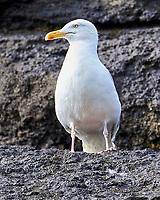 Herring Gull (Larus argentatus). Viewed from a RIB Safari Boat tour near Brandur Island. Image taken with a Nikon D4 camera and 80-400 mm VR lens
