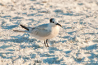 A sandwich tern in winter plumage resting on the sand on South Lido Beach on SW Florida's Gulf Coast. Easily identified by the yellow tip on the bill.