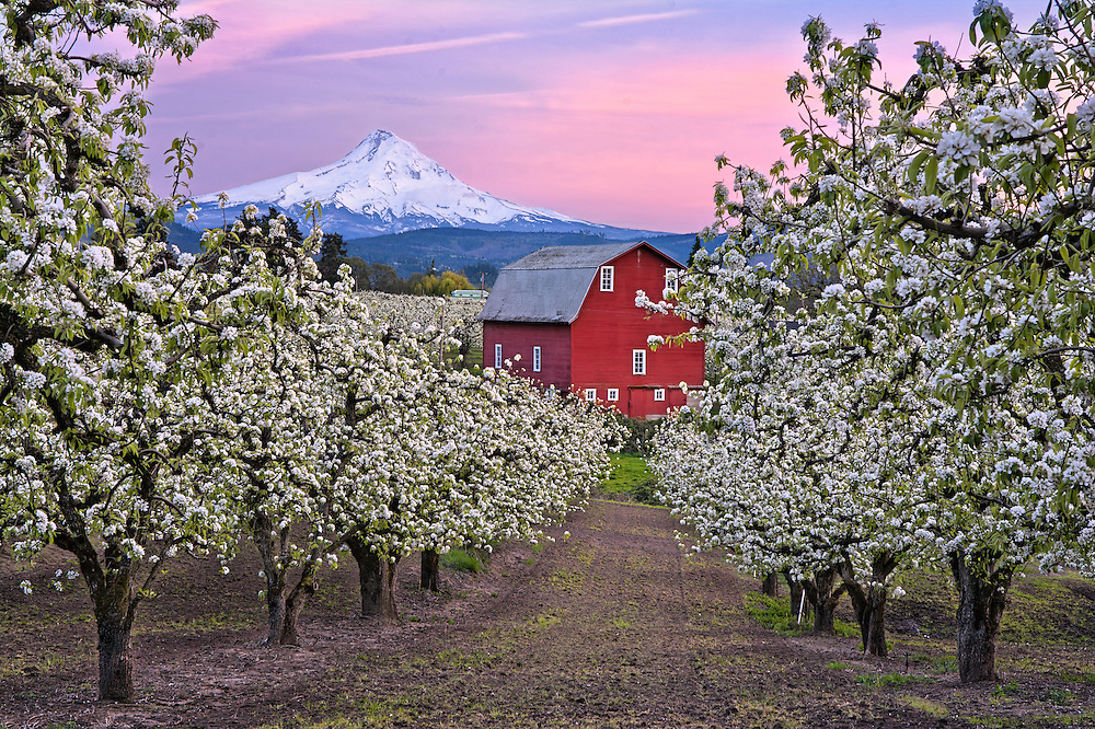 Pear Orchards, Hood River, OR