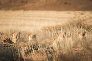 Pride of Desert Lions, Hoanib River, Skeleton Coast, Northern Namibia, Southern Africa