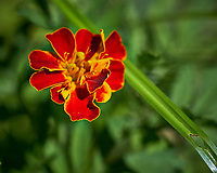 Red and Yellow Tickseed (Calliopsis, Coreopiss) wildflower (?). Backyard spring nature in New Jersey. Image taken with a Fuji X-T2 camera and 60 mm f/2.4 macro lens (ISO 200, 60 mm, f/4, 1/1500 sec).