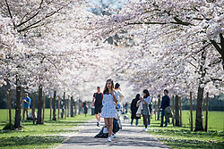 © Licensed to London News Pictures. 29/03/2021. London, UK. A woman poses for a friend, underneath a corridor of Cherry Blossom in Battersea Park, south London, on the day that some lockdown restrictions are eased. Photo credit: Ben Cawthra/LNP