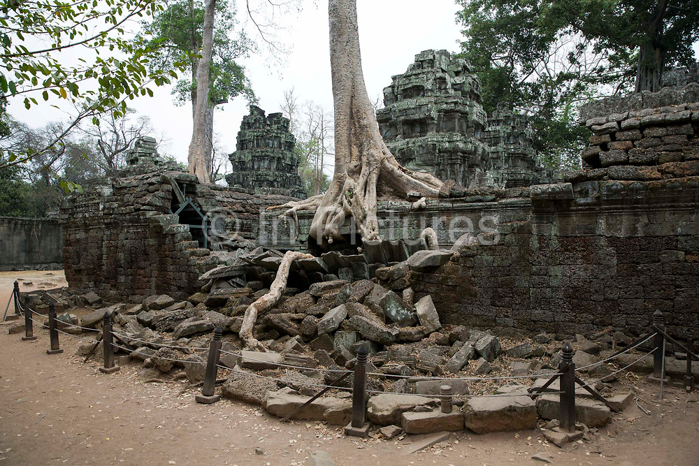 A silk-cotton tree, Ceiba pentandra, grows around an ancient ruin of the Ta Prohm temple, known as the jungle temple,  in Angkor region Siem Reap Province, Cambodia, South East Asia. Today, it is one of the most visited complexes in Cambodia made famous by the Tomb Raider film in 2001. The area has been fenced off for the safety of visitors.