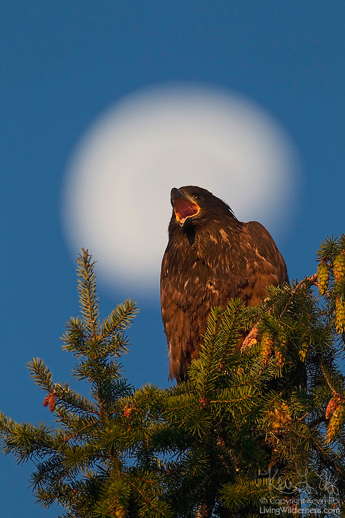 With a three-quarters moon as a backdrop, a bald eagle fledgling (Haliaeetus leucocephalus) calls out from the top of a Douglas fir tree. At the time of this image, this juvenile bald eagle was approximately three months old.