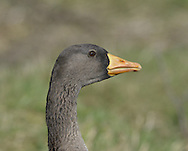 White-fronted Goose - Anser albifrons - Greenland race - flavirostris - juvenile.  L 65-75cm. Adults have striking white patch on forehead. 2 ssp. occur: Greenland White-front A.a.flavirostris has orange bill and overall darker plumage than smaller, pink-billed European White-front A.a.albifrons. All birds have orange legs and mainly dark wings with faint pale wing bars. Sexes are similar. Adult Greenland has dark brown head grading to paler brown on neck and underparts; note black patches on belly and large white forehead patch. Back is dark grey-brown and stern is white. Bill tip is white. Adult European is shorter-necked and paler, especially on head, belly and back. Bill tip is white. Juveniles are similar to respective adults but lack white forehead patch and black belly markings; tip of bill is dark. Voice Utters barking, musical calls. Status Locally common winter visitor; Greenlands visit in Ireland and NW Scotland, Europeans visit England and S Wales. Favours wet grassland.