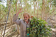 Ali, a qat grower, holds a bundle of qat leaves in a qat orchard near Sanaa, Yemen. Although qat chewing isn't as severe a health hazard as smoking tobacco, it has drastic social, economic, and environmental consequences. When chewed, the leaves release a mild stimulant related to amphetamines. Qat is chewed several times a week by a large percentage of the population: 90 percent of Yemen's men and 25 percent of its women. Because growing qat is 10 to 20 times more profitable than other crops, scarce groundwater is being depleted to irrigate it, to the detriment of food crops and agricultural exports.
