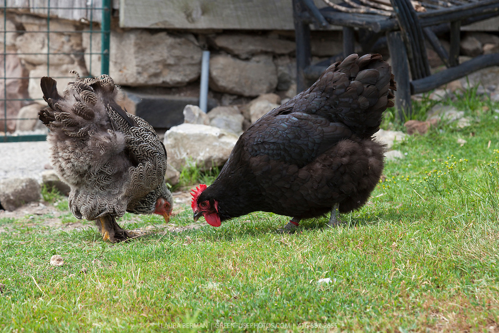 Heritage breed Black Jersey Giant and Dark Brahma hens scratch in the barnyard.