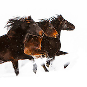 Ken Snow Horses
