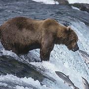 Alaskan brown bear (Ursus middendorffi) fishing for salmon at Brooks Falls on the Brooks River, Alaska.