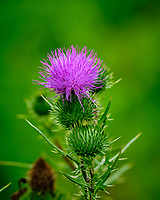 Thistle Flower. Image taken with a Fuji X-H1 camera and 80 mm f/2.8 macro lens + 1.4x teleconverter