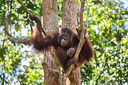 An adult orang-utan sits in a tree on Salat Island pre-release site, run by the Borneo Orangutan Survival Foundation BOSF, in Central Kalimantan, Borneo, Indonesia on 27th May 2017. In this last stage of rehabilitation, the animals are observed as they learn how to forage for their own food and live independently. The island was established in partnership between BOSF and PT SSMS, a local palm oil company, who are both members of the Roundtable on Sustainable Palm Oil.