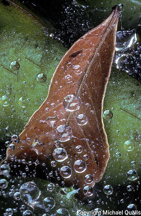 Sheet web, a leaf, ice plant, and rain drops