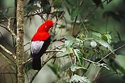 Andean Cock-of-the-Rock<br />Rupicola peruviana<br />Manu Cloud Forest.  Manu National Park.  PERU  South America<br />Range: Andes